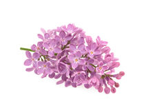 Spring flower, twig purple lilac. Syringa vulgaris. Stock Photography