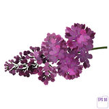 Spring flower, twig purple lilac. Syringa vulgaris. Buds and lush inflorescences of lilacs. Vector Stock Image