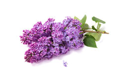 Spring flower, twig purple lilac Royalty Free Stock Photography
