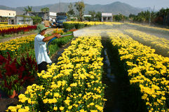 Spring flower, Vietnam Tet, Asian farmer. BA RIA, VIET NAM- FEB 11: Spring flower for Vietnam Tet, Asian farmer working on agriculture field to water for plant royalty free stock photo