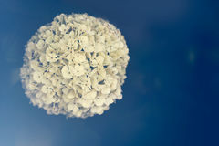 Spring flower in vintage tint and light from lens. Viburnum macrocephalum Royalty Free Stock Photos