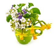 Spring flower violet and lent lily. In green cup gardening flower-growing, isolated on white background stock photos