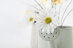 Spring Flower in Watering Can Royalty Free Stock Photo