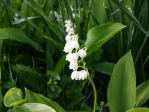 Spring flower. White lily of the valley in a green background Stock Photo