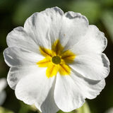 Spring flower of white  Primula vulgaris in the garden Royalty Free Stock Photography