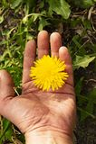 Spring flower yellow dandelion on the palm - Earth Day stock image