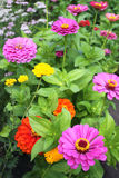 Spring flowerbed. With multicolored zinnias Royalty Free Stock Images
