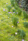 Spring flowerbed with lent lily Royalty Free Stock Photo