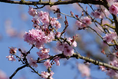Spring Flowering. Fruit tree in bloom stock photo