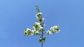 Spring flowering apple tree on a background of blue sky. Spring flowering apple tree branch on a background of blue sky Royalty Free Stock Images