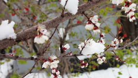Spring flowering apple tree branches under snow stock footage