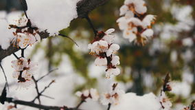 Spring flowering apple tree branches under snow stock video footage