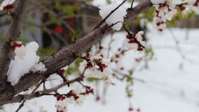 Spring flowering apple tree branches under snow. Spring flowering apple tree branches under the snow stock video footage