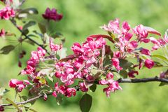 Spring flowering apple tree Royalty Free Stock Photography