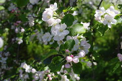 Spring flowering  apple-tree Royalty Free Stock Photography
