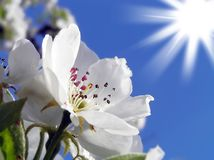 Spring flowering of apple trees Stock Photos