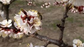 Spring flowering apricot, Kiev. Spring flowering apricot Kyiv Ukraine stock video footage