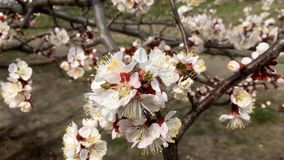 Spring flowering apricot, Kiev. Spring flowering apricot Kyiv Ukraine stock video
