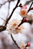 Spring flowering apricot Stock Photo