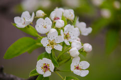 Spring flowering apricots Stock Images