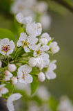 Spring flowering apricots Royalty Free Stock Images