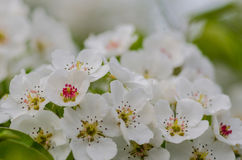 Spring flowering apricots Stock Photos