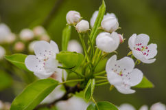 Spring flowering apricots Royalty Free Stock Photos