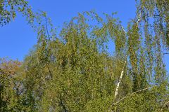 Spring flowering birch tree. Spring blossom of a perennial deciduous birch tree of the Betulaceae family stock images