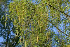 Spring flowering birch tree. Spring blossom of a perennial deciduous birch tree of the Betulaceae family royalty free stock image