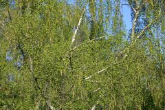 Spring flowering birch tree. Spring blossom of a perennial deciduous birch tree of the Betulaceae family stock photos