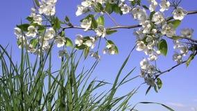 Spring Flowering stock video footage