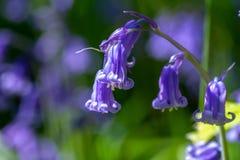 Spring flowering bluebell. Hyacinthoides non-scripta formerly Endymion non-scriptus or Scilla non-scripta is a bulbous perennial plant, found in Atlantic areas stock photo