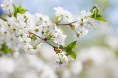Spring flowering. Blurring background, Royalty Free Stock Images