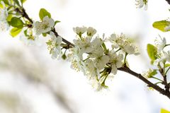 A spring Flowering branch against the blue sky backgrounds.  royalty free stock images
