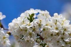 A spring Flowering branch against the blue sky backgrounds.  stock photography