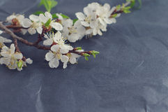 Spring flowering branch on black crumpled paper. Stock Images