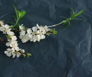 Spring flowering branch on black crumpled paper. Stock Photography