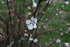 Spring flowering branch of felt cherry. One of the first blossom Stock Photo