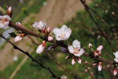 Spring flowering branch of felt cherry. One of the first blossom Stock Photography