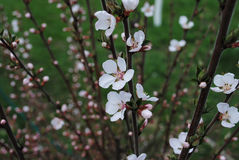 Spring flowering branch of felt cherry. One of the first blossom Stock Image