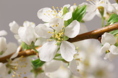Spring flowering Stock Image