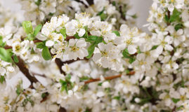 Spring flowering Stock Photos