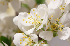 Spring flowering Royalty Free Stock Photos