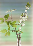 Spring flowering branches Royalty Free Stock Photos