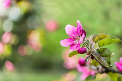 Spring flowering branches of apple Royalty Free Stock Images