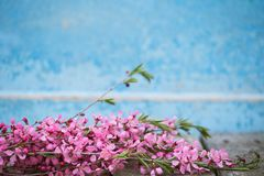 Spring flowering branches, pink flowers on a blue background.  Royalty Free Stock Image