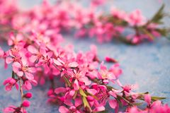 Spring flowering branches, pink flowers on a blue background.  Royalty Free Stock Photo