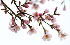 Spring flowering branches. pink flowers Stock Images