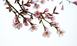 Spring flowering branches Royalty Free Stock Image