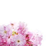 Spring flowering branches, pink flowers Stock Photography